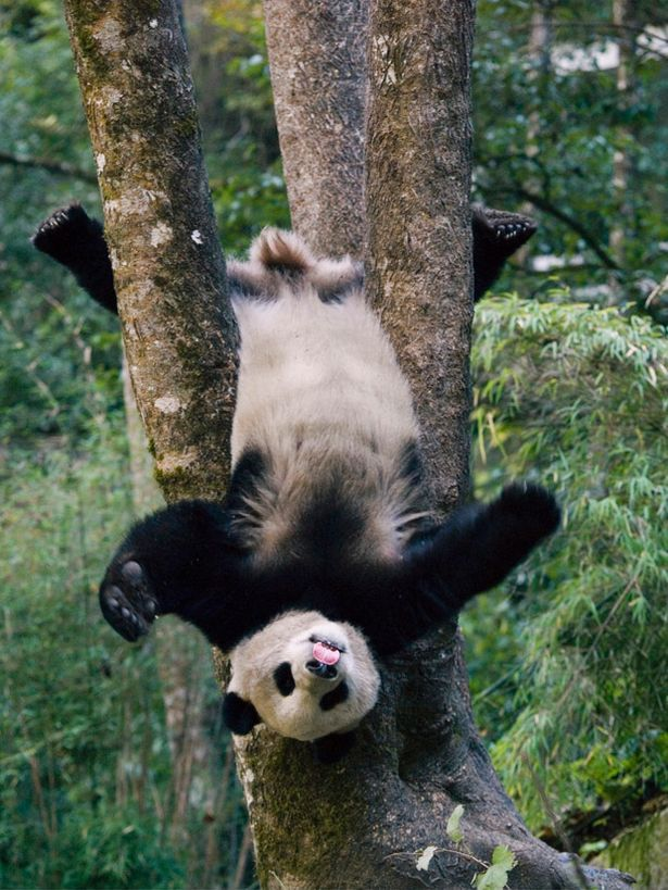 Giant Panda cub having fun in a game park.