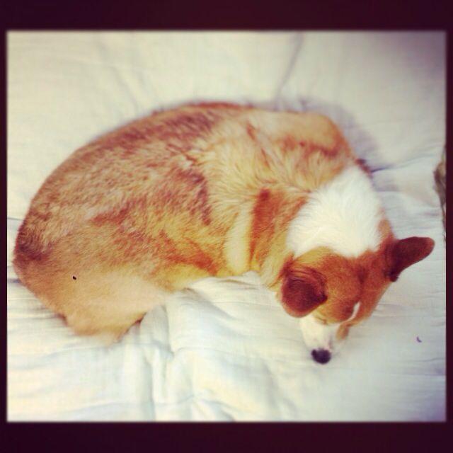 He is really fat corgi!!!!(´・_・`)