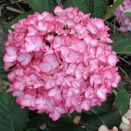 Hydrangea Dutch Ladies® 'Salsa'® (feuilles pourpres)