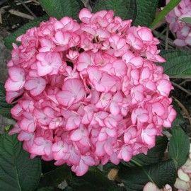 Hydrangea Dutch Ladies® 'Salsa'® (feuilles pourpres)