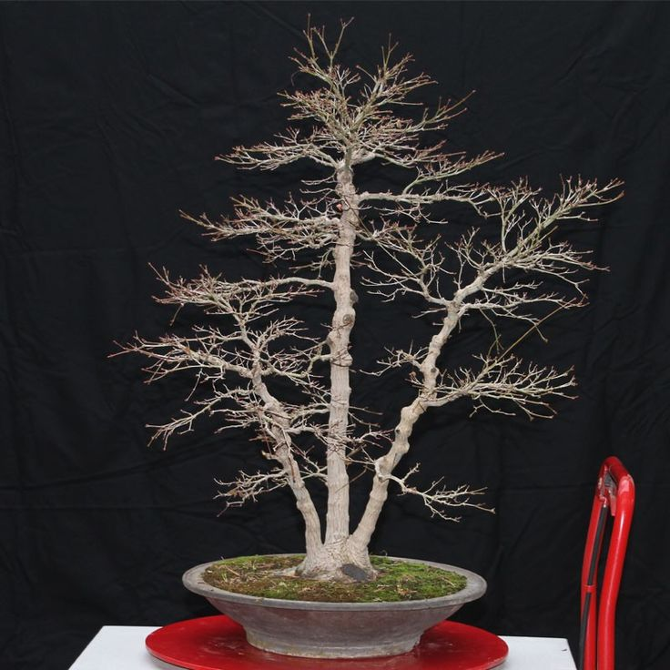 Les 25 meilleures id es de la cat gorie bonsai erable du japon sur pinterest bonsa s d 39 rable - Erable rouge du japon ...