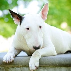 A brief history of the Bull Terrier