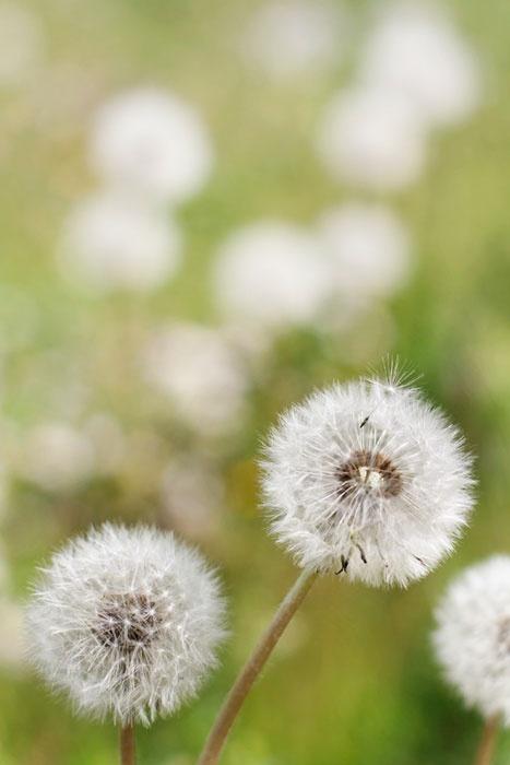 Dente di Leone #nature #flower #mixyourlife