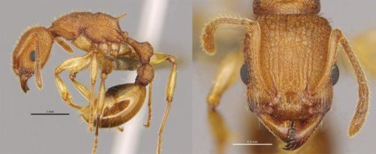 New ant species Paratopula bauhinia (Golden Tree Ant) discovered https://www.sciencedaily.com/releases/2016/08/160803075752.htm