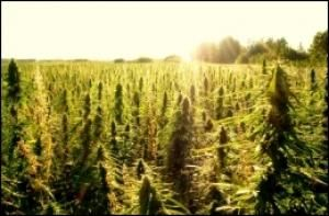 Hemp Legalization Amendment Introduced for Farm Bill | Sen. Ron Wyden (D-OR) Monday introduced an amendment to the omnibus farm bill to allow farmers to grow industrial hemp, the Huffington Post reported. The move picked up support the next day, when Sen. Pat Leahy (D-VT) said he would support it, the Huffington Post reported separately.