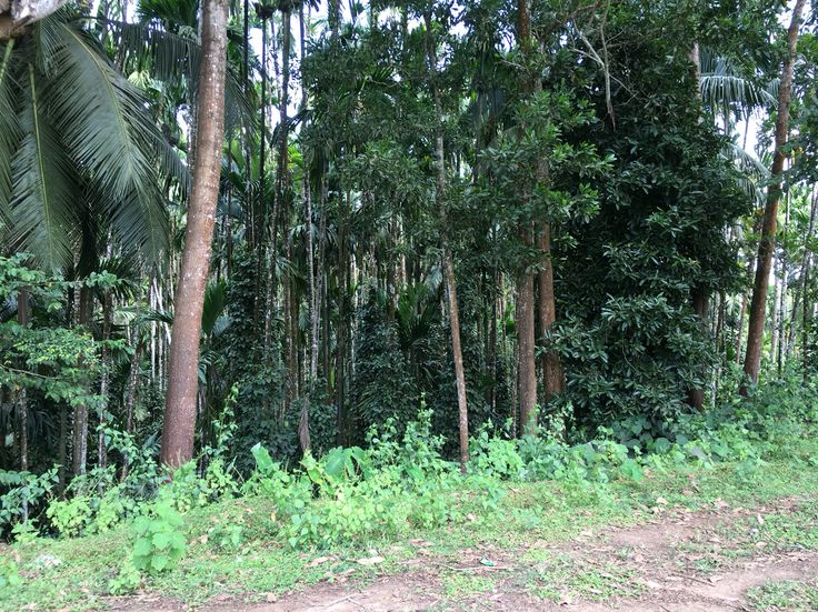 Areca but trees in Malnad