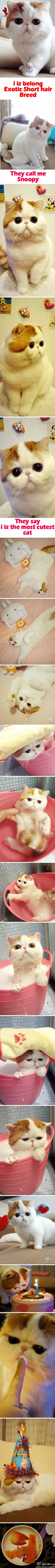 The most cutest cat in the world called Snoopy cat, it is exotic short hair breed, the only of it's kind lives in CHina.. For more details click image