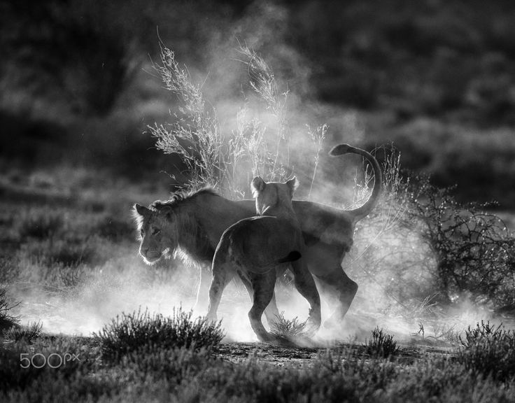 Where dust will fly - Lions, Kgalagadi, South Africa.