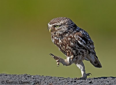 Marching owl =): Hate Gonna, The Doors, Animal Pictures, Austin Thomas, Swag, Owl, Beautiful Birds, Hoot, Feathers Friends