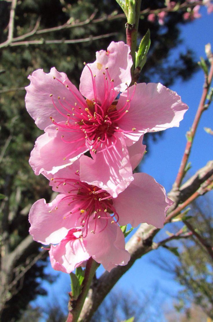 "Peach blossoms 桃の花, — Petaluma, CA. In Japan, March 3rd is celebrated as both ""Hinamatsuri (Doll's Festival)"" and ""Momo no sekku (Peach Festival)"" because of the peach blossom season."