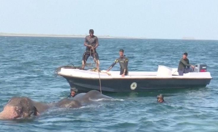 Námořnictvo a záchranáři ze Srí Lanky vytáhli dva slony z moře. Silné proudy Indického oceánu je stáhly 1 km od východního pobřeží ostrova.