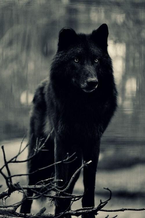 Black wolf - one of the most beautiful things I think I've seen.
