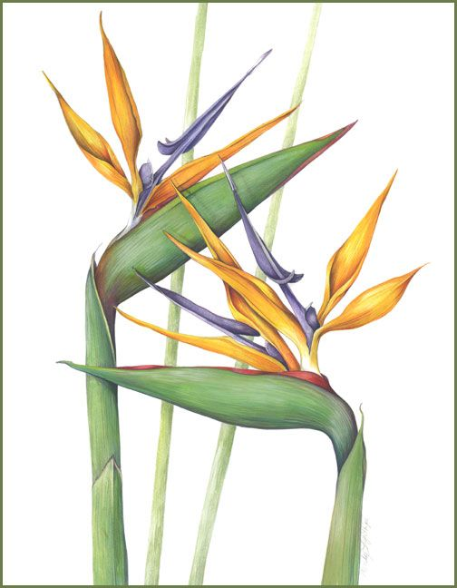 bird of paradise botanical illustration - Google Search