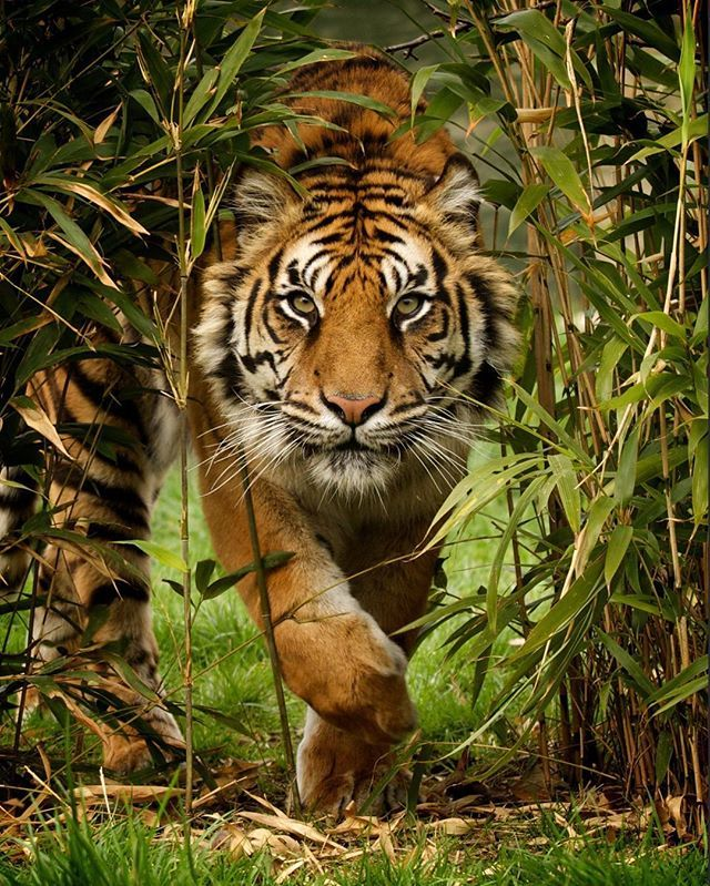 A female sumatran tiger approaches through the bamboo. This is Puna, and was shot as part of a photography day at the wonderful Big Cat Sanctuary in Kent | Photograph by © Paul Hayes @fofr Tag #WildlifePlanet and follow us to be featured!