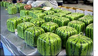 Japanese farmers have developed melons which are grown in square glass containers, making them easier to store and prepare!