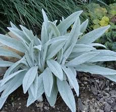 Image result for stachys bello grigio