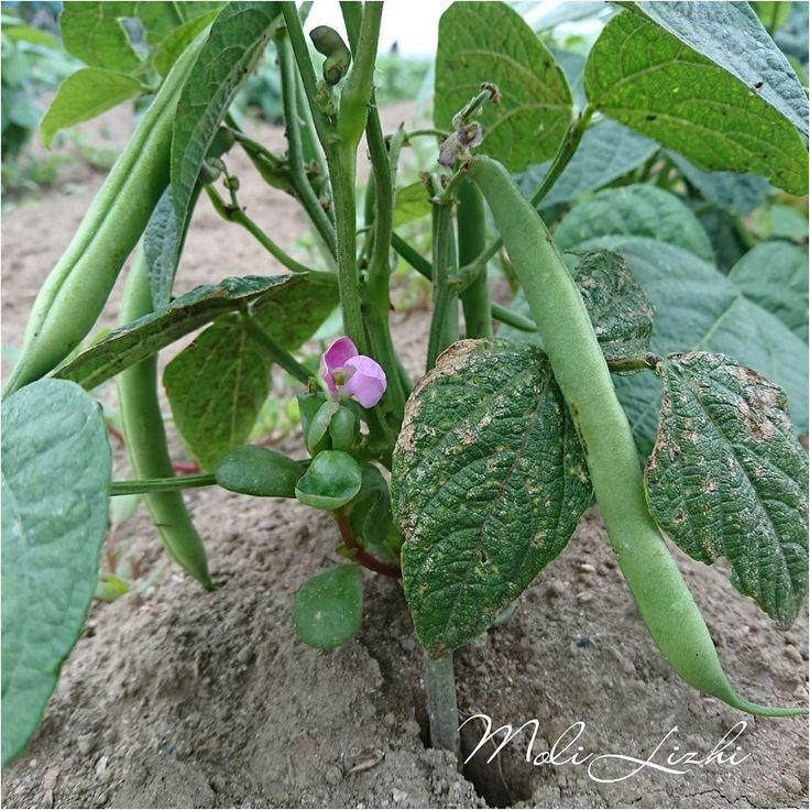 つるなしインゲンの花です 可愛らしく綺麗なんだ  #덩굴없이 #녹두 #つるなし #インゲン #Бобы #Буша #Vine #without #bean #やさい #野菜 #蔬菜#овощи #Vegetables  It is a flower of a green bean paste. It is purple and beautiful.  덩굴없이 녹두 꽃입니다. 보라색으로 아름답습니다.  無藤花的綠豆 它是美麗的紫色  Нет виноградная лоза не зеленые бобы цветов.  Это красиво в фиолетовом цвете.