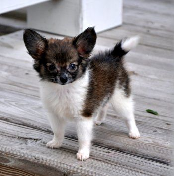 Anthony wants this guy on his page. Teacup Papillon Puppy