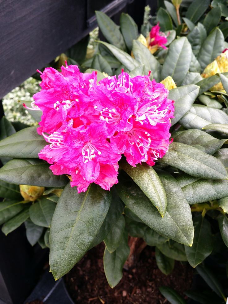 Rhododendrons and azaleas make great statement plants for patio containers or a  fantastic backdrop in a border.  these shade loving plants need acid soil to thrive but otherwise easy to care for and come in a variety of colours and sizes.