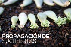 La mejor información para los amantes de las plantas crasas sobre su propagación. ¿Y tú te lo vas a perder? ¡Gracias SAPERES!