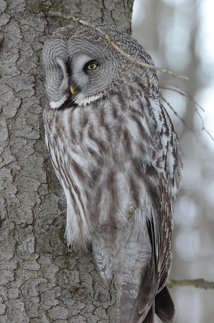 Great Grey Owl By MarttiPeramaki -- this is a remarkable photo! Love it :o)