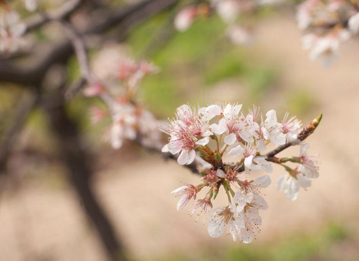 Instant Download Apple Blossom - digitale foto - digitale bloem fotografie - digitale macrofotografie - digitale Apple Blossom fotografie door SchulerPhotography op Etsy https://www.etsy.com/nl/listing/292855487/instant-download-apple-blossom-digitale