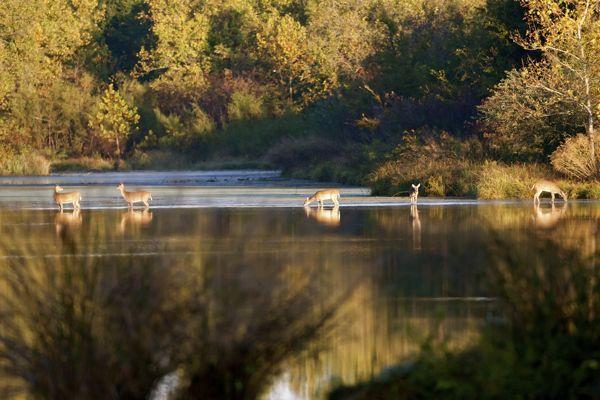 Several Deer Crossing A River