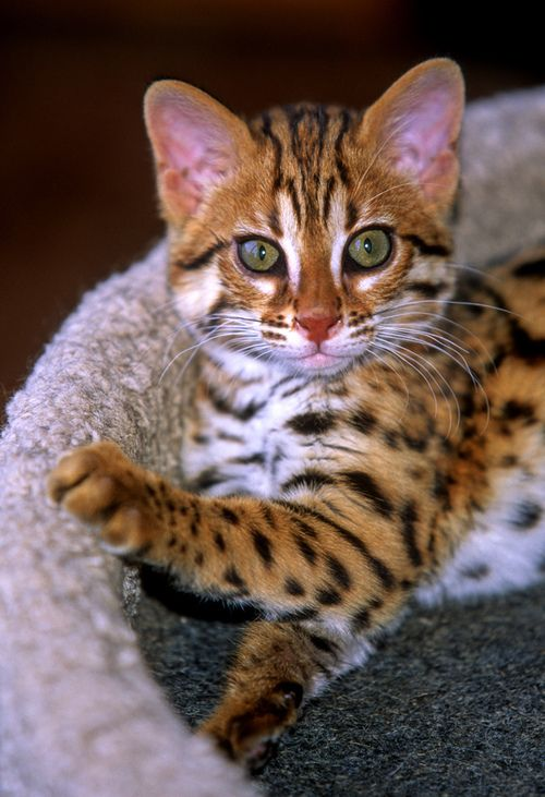 Love the wild look of these F1 bengals -- the dramatic white specs and belly, the round ears, the intense expression.  Beautiful.