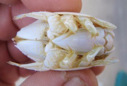 Sand Fleas (Mole Crabs or Sand Crabs) Prime surf fishing bait