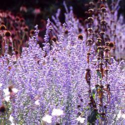 alle planten in voorraad bij kwekerij Bastin, je kunt ze hier online bestellen of op de kwekerij kopen (perovskia)