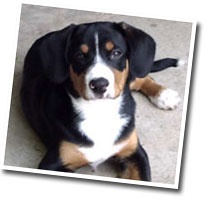 entlebucher.. a swiss mountain dog... so gorgeous and so sweet