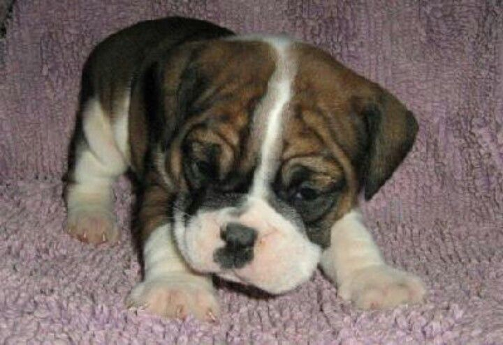 Boxer pups are beyond adorable...