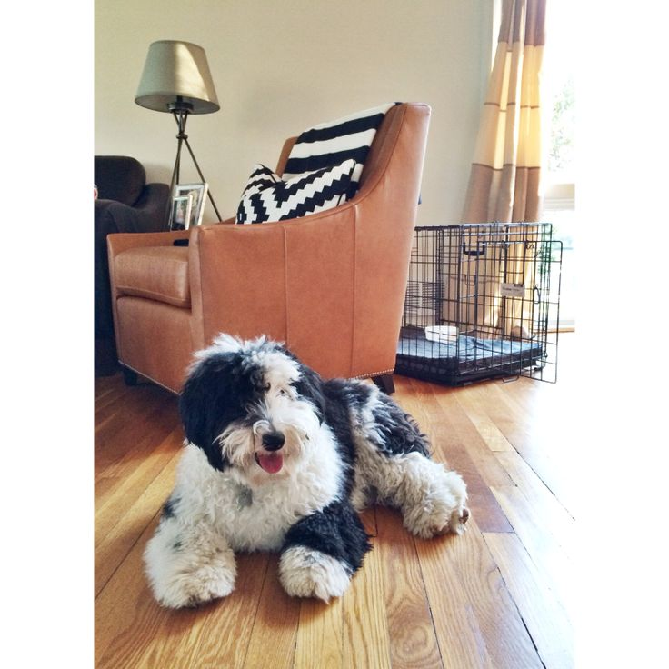 48 Best Images About Bear Mini Sheepadoodle On Pinterest