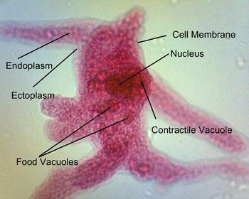 Amoeba Proteus Slide Labeled