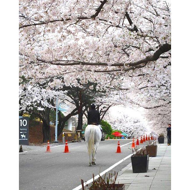 【yoritabi】さんのInstagramをピンしています。 《京畿道果川市の競馬公園駅にある競馬場すぐ横の道もキレイです✨ お馬さんも見られるかも! #より旅 #korea #koreantravel #koreantrip #sightseeing #koreansightseeing  #cherryblossom #韓国 #韓国旅行 #韓国観光 #観光 #お花見 #花見 #桜 #競馬公園 #汝矣島 #永登浦 #花祭り》