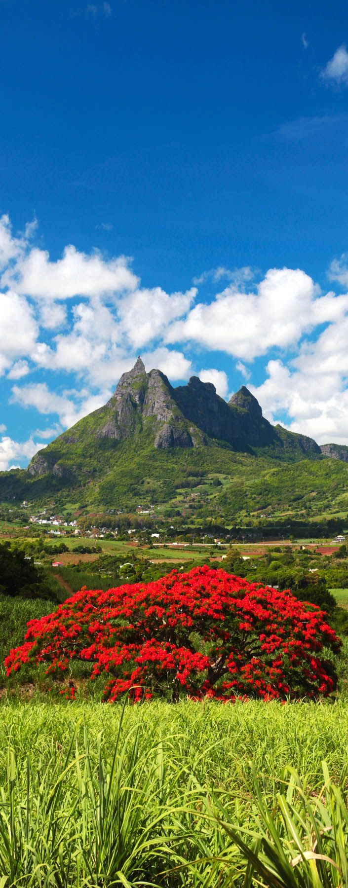 Blooming Flamboyant Tree with Pieter Both mountain as background in Mauritius     |    Check Out The Most Majestically Trees In The World!
