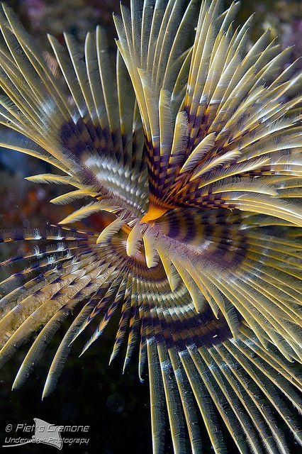 Sea tubeworm ~ photo by Pietro.Cremone, via Flickr