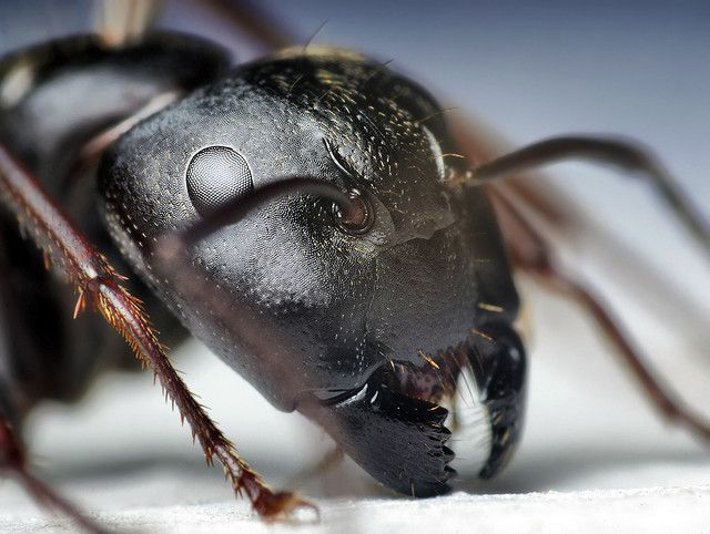Head of a Black Carpenter Ant (Camponotus pennsylvanicus) by Thomas Shahan, via Flickr