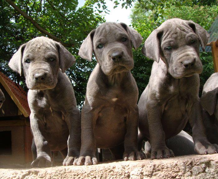 deutsche doggen | Deutsche Dogge, Doggenwelpen in blau - Hunde