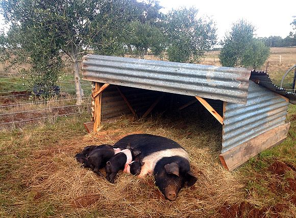 Best Pig Shelter : Best micro farming ideas images on pinterest farms