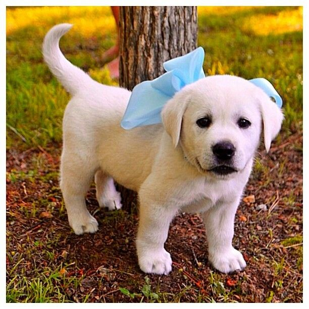 I want a guy who'd get me a chocolate labrador retriever puppy with blue eyes and a big blue ribbon. I'd love it! #wantapuppy #puppypresent