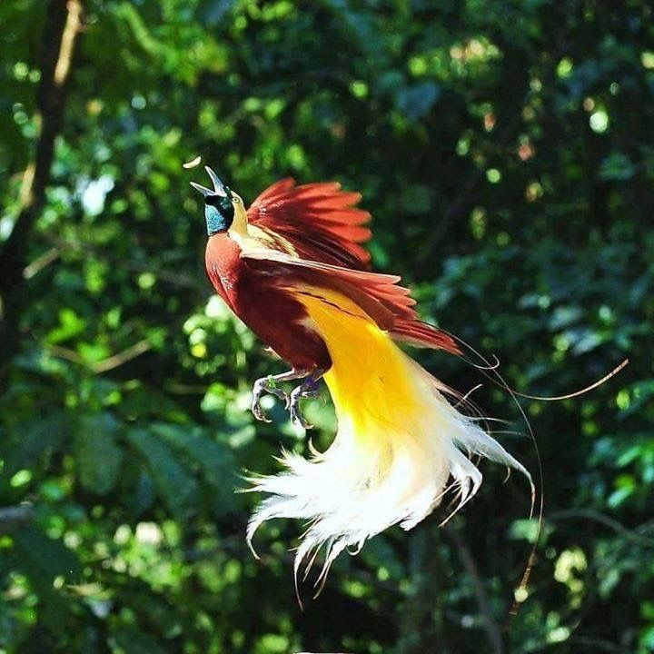 Bird of Paradise - found only in PNG