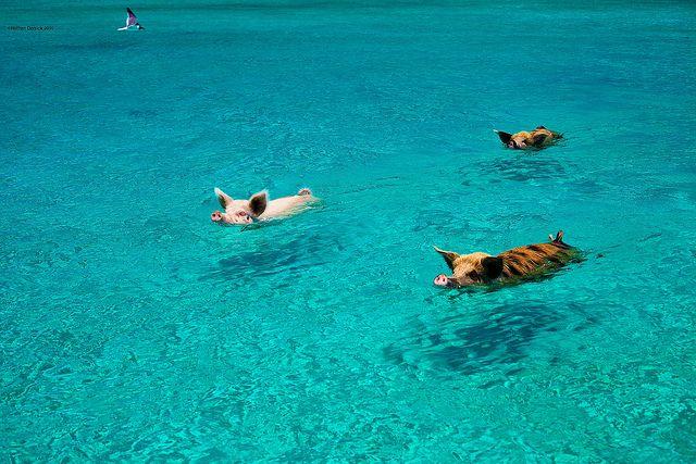 cochons nageurs des bahamas 2   Les cochons nageurs des Bahamas   porc photo natation nageur image ile cochon bahamas