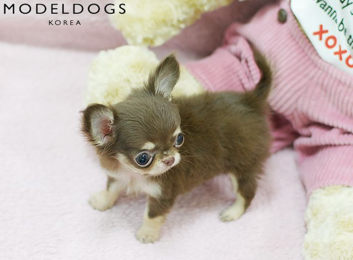Toy Long haired Chihuahua puppy
