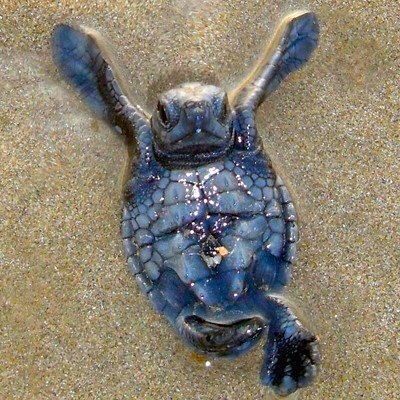 Baby sea turtle.....Check me out.....I'm dead sexy......