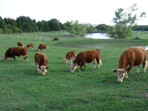 Las Mini Vacas Son Más Rentables Que Las Vacas Tradicionales | Gastronomía & Cía