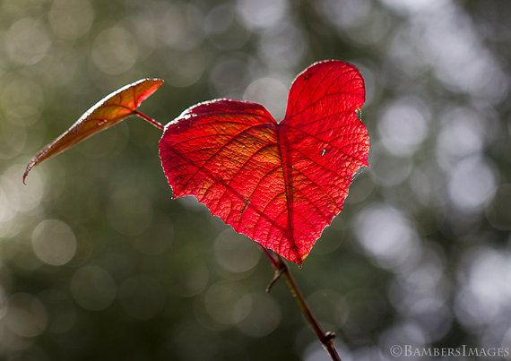 Red Heart Shaped Leaf.  Valentine Love Wall Art 5 by BambersImages
