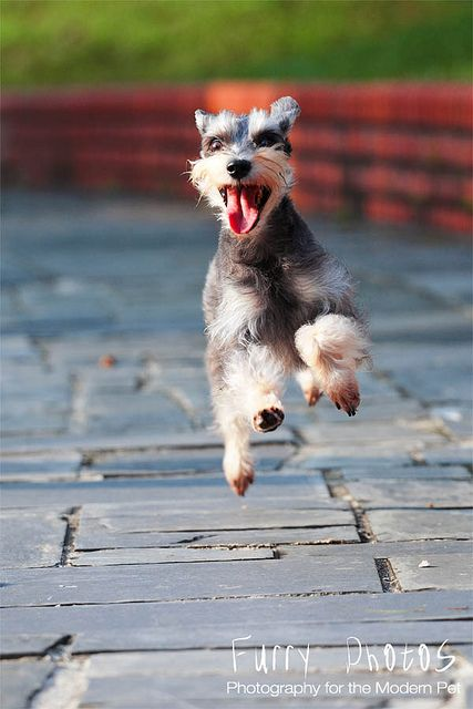 Fantastic picture of a schnauzer, or any dog for that matter, this is exactly why people love dogs.