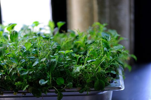 Growing your own herbs and micro cress: Gardens Ideas, Fun Food, Gorgeous Gardens, Food Stories, Neat Ideas, Celebrity National, Micro Green, Micro Cress, National Micro