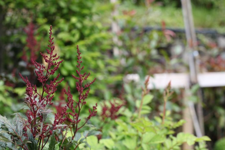 Astilbe ja. 'Montgomery' - Deep red flowers in mid summer. Fine bronze foliage. Hardy and full sun. 60-70cm tall. www.thepavilion.ie